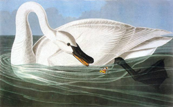 Audubon_john_james_cygne