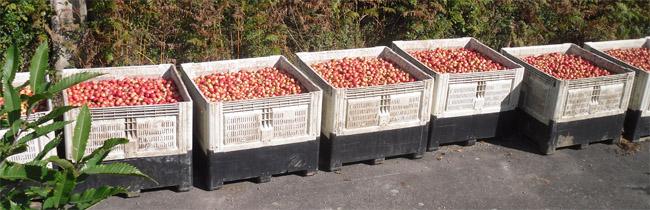 Pommes_ramassage
