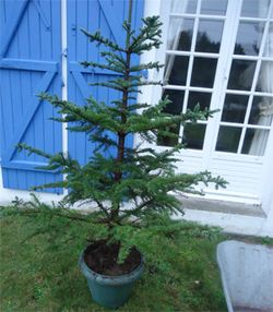 Sapin_noel_pot