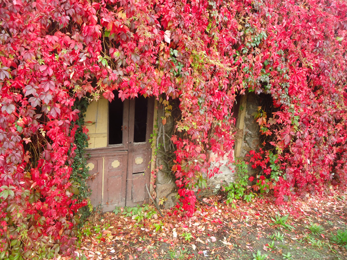 plante grimpante vigne rouge