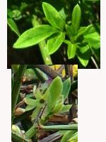 Jasminum-nudiflorum-tige-aphylle
