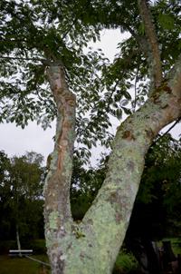 Albizia-cinquantenaire-ramure