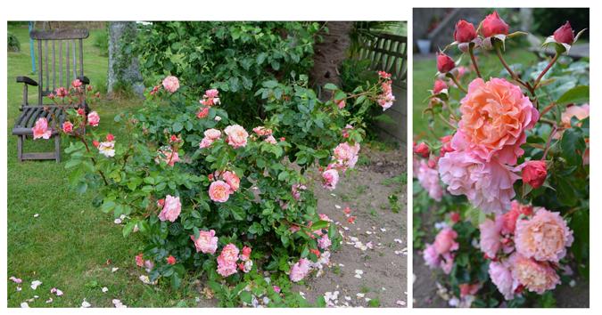 Marie-Curie_rosier-jardin