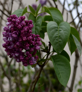 Syringa-vulgaris