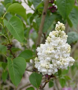 Lilas-blanc