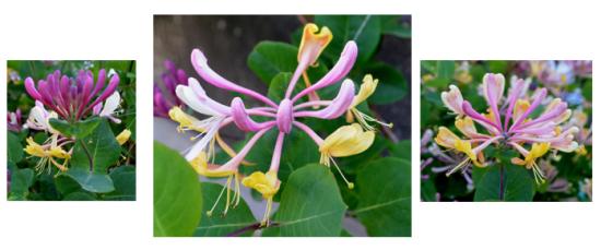 Lonicera-caprifolium