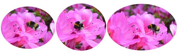 Bourdon-pollinisation