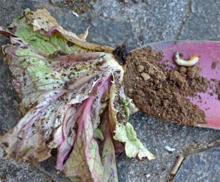 Larve-Mangeur-salade