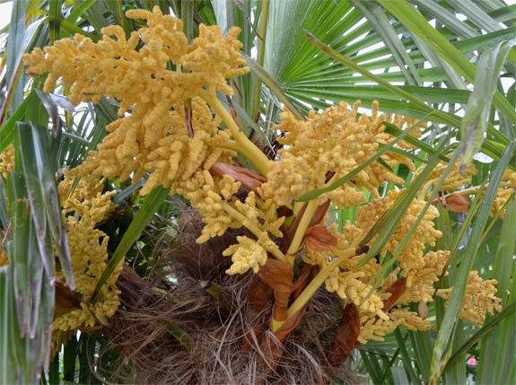 Palmier-inflorescence