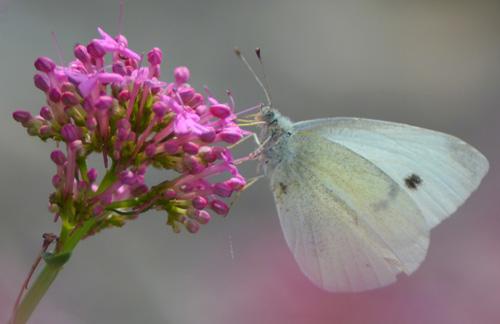 Pieride-papillon-blanc