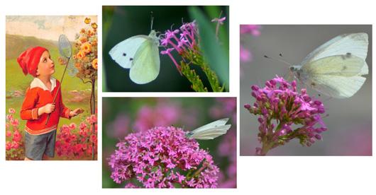 Pieride-papillon-bretagne