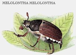 Melolontha-melolontha