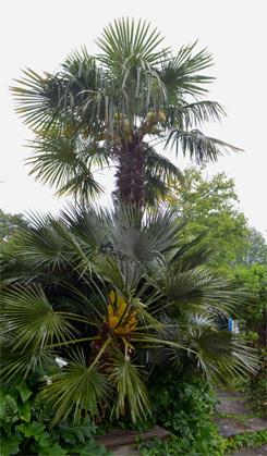 Palmiers-Combrit