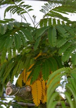 Albizia-feuilles-jaunes
